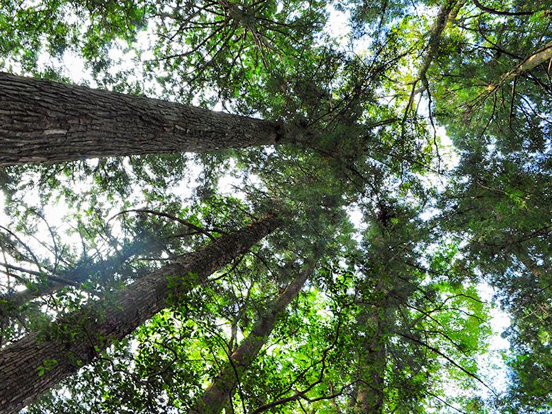 白川町の景色:神社の木々